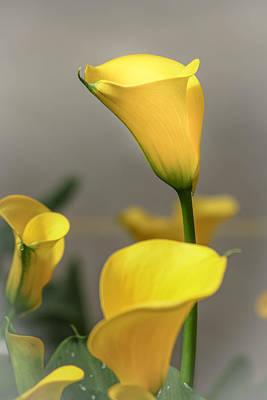 Yellow Calla Lilies Poster by Menachem Ganon