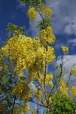Yellow Cassia Poster by Gordon  Grimwade