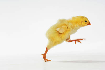 Yellow Chick. Baby Chicken Poster
