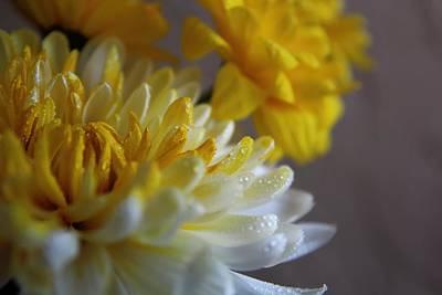 Yellow Chrysanthemum Poster by Lynn Jordan