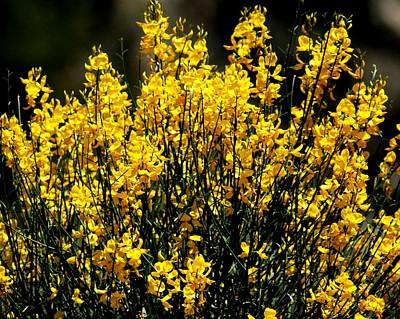Poster featuring the photograph Yellow Cluster Flowers by Matt Harang