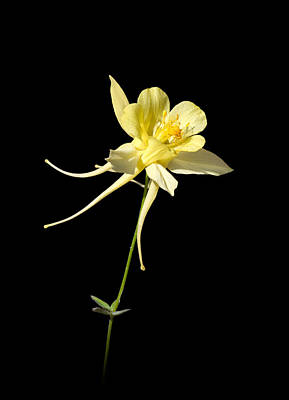 Yellow Columbine On Black Poster