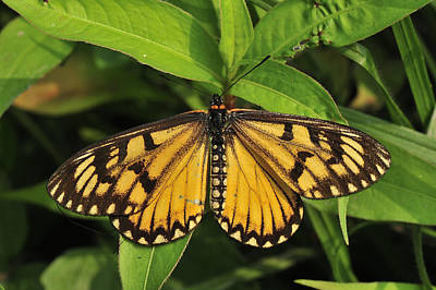 Yellow Coster Butterfly Manas Np India Poster