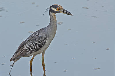 Yellow-crowned Night-heron - 2866 Poster