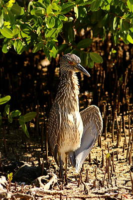 Yellow Crowned Night Heron Baby In The Mangroves Poster by Christiane Schulze Art And Photography