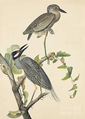 Yellow-crowned Night-heron Poster by John James Audubon