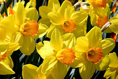 Yellow Daffodils Poster by Menachem Ganon