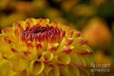 Poster featuring the photograph Yellow Dahlia Red Tips by Scott Lyons