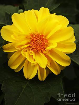 Yellow Dahlias Poster