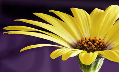 Yellow Daisy Poster by Barbara Smith