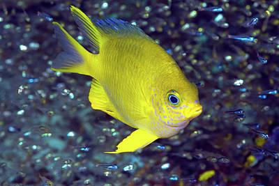 Yellow Damselfish Surrounded Poster