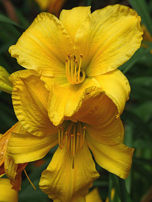 Yellow Day Lilies Poster by Jennifer Nelson