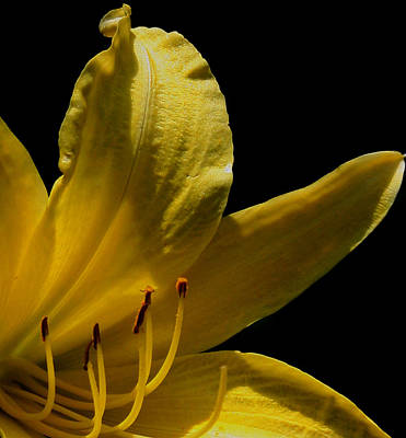 Yellow Day Lily Poster