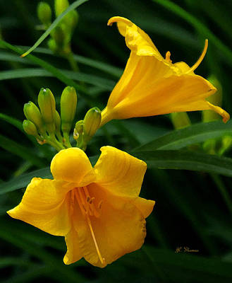 Poster featuring the photograph Yellow Daylilies by James C Thomas