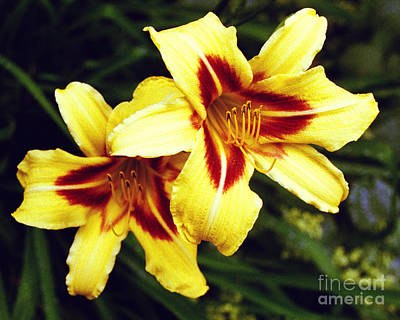 Poster featuring the photograph Yellow Daylilies  by Tom Brickhouse