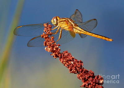 Yellow Dragonfly On Brown Reed Poster by Carol Groenen