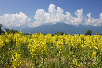 Yellow Field Of Mullein With Pirin Mountains Poster