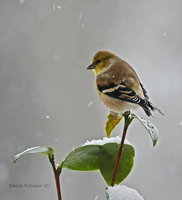 Poster featuring the photograph Yellow Finch by Denise Romano