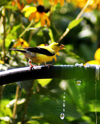 Poster featuring the photograph Yellow Finch With A Water Leak by B Wayne Mullins