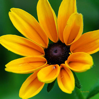 Yellow Flower Black-eyed Susan Poster by Christina Rollo