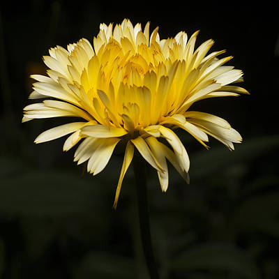 Yellow Flower Head Closeup Poster by Donald  Erickson