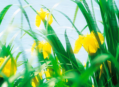 Yellow Flowers With Grass An Sky Poster