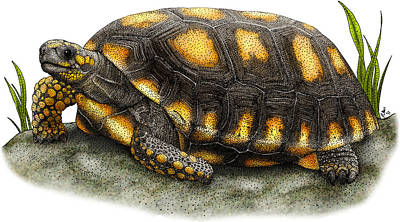 Yellow-footed Tortoise Poster