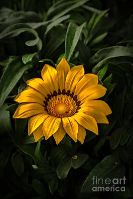 Yellow Gazania Poster by Robert Bales