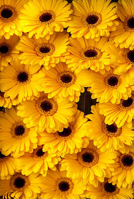 Yellow Gerbera. Amsterdam Flower Market Poster by Jenny Rainbow