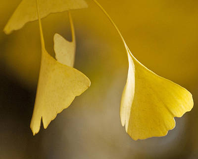 Yellow Ginkgo Poster
