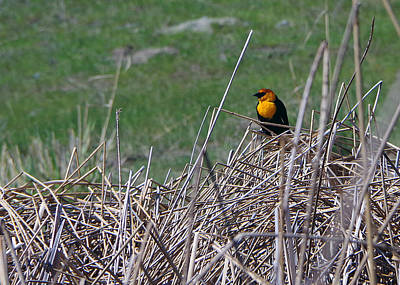 Yellow-headed Blackbird Poster by Harvey Dalley