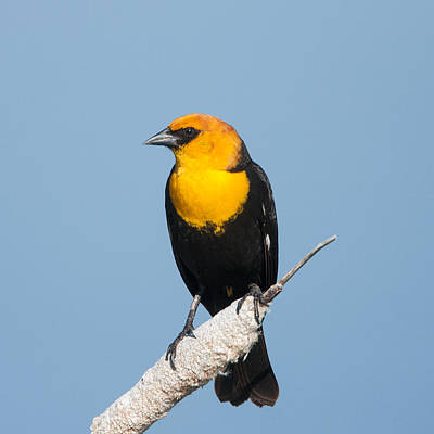 Poster featuring the photograph Yellow Headed Blackbird by Jack Bell