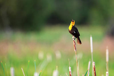 Yellow Headed Blackbird (xanthocephalus Poster