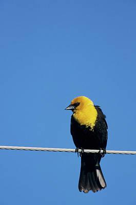 Yellow-headed Blackbird (xanthocephalus Poster