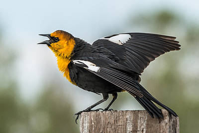 Poster featuring the photograph Yellow-headed Blackbird by Yeates Photography
