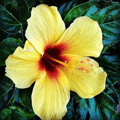 Yellow Hibiscus 2 Poster by Darice Machel McGuire