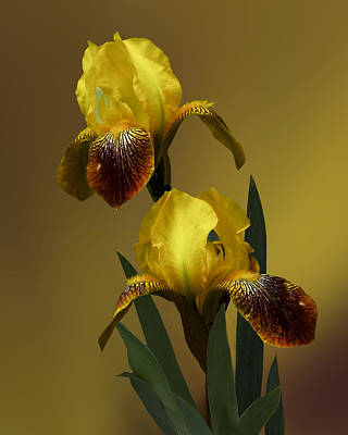 Yellow Iris Poster by Judy  Johnson