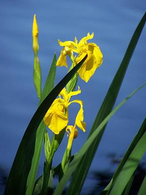 Yellow Irises Poster by Noreen HaCohen