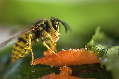 Yellow Jacket Munching On Salmon Poster by Tom Norring