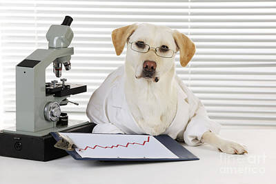 Yellow Lab In Lab Coat Poster