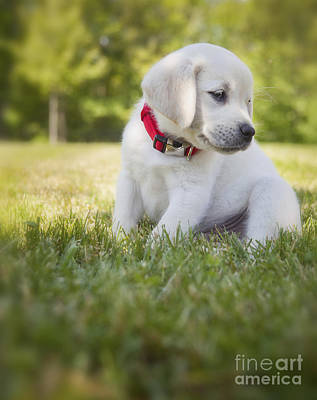 Yellow Lab Puppy In The Grass Poster by Diane Diederich