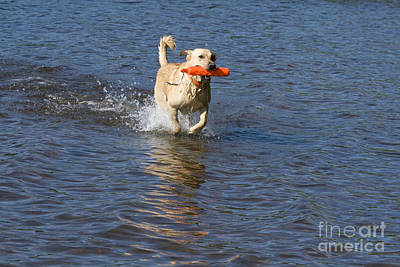 Yellow Lab Retrieving Toy Poster