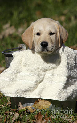 Yellow Labrador Puppy Poster by Linda Freshwaters Arndt