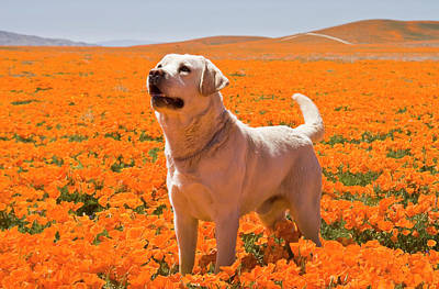 Yellow Labrador Retriever Standing Poster by Zandria Muench Beraldo