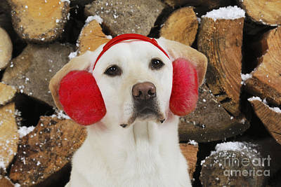 Yellow Labrador With Ear Muffs Poster by John Daniels