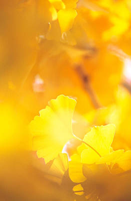 Yellow Leaves, Autumn, Backlit Poster by Panoramic Images