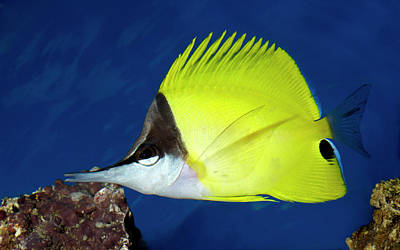 Yellow Long-nosed Butterflyfish Poster