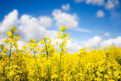 Yellow Mustard Field Poster