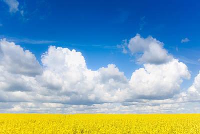 Yellow Mustard Fields Under A Deep Blue Sky Poster