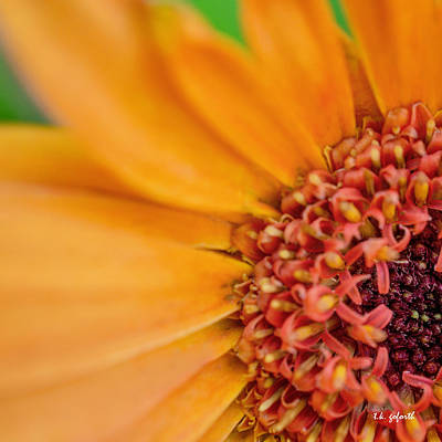 Yellow Orange Gerbera Squared Poster by TK Goforth